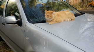Cat on the car's hood
