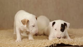 Cute puppies of bull terrier