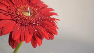 Drops falling on a flower
