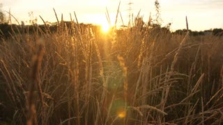 Field with tall grass at sunset