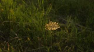Flight of Dandelion Seed
