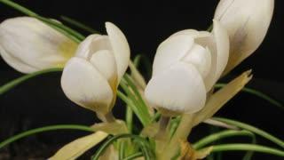Flowers Blossom Timelapse