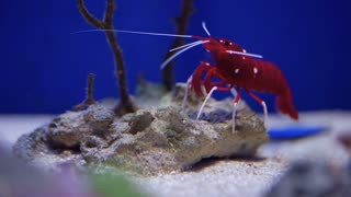 Live Shrimp underwater