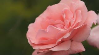 Pink rose under rain
