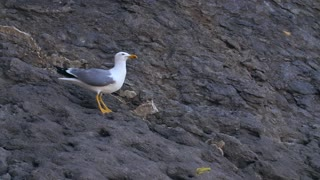 Seagull eats and taking off