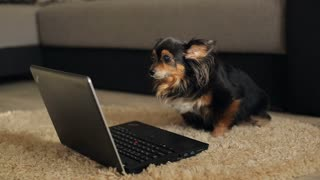 Smart Dog using a laptop
