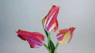 Tulip flowers blooming