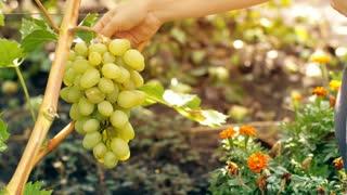 Woman in Vineyard Picking Grape