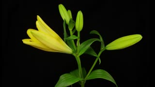 Yellow lily blooming