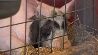 Adult pig laying in pen tired and exhausted 4k