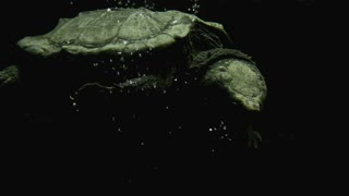 Alligator Snapping Turtle Underwater