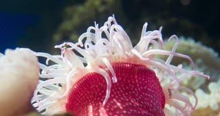 Anemone tentacles wiggling in ocean water 4k