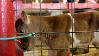 Baby Cow in cage being pet