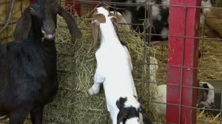 Baby Goats Eating Food with Mother