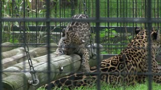 Baby Leopards in cage with mom