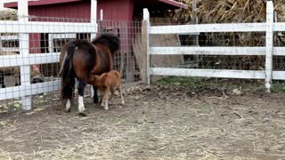 Baby pony sucking on mother
