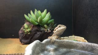 Bearded dragon lizard for sale at pet store 4k