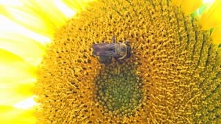 Bee collecting pollen from Sunflower 4k