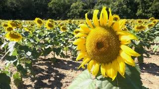 Bee on sunflower on sunny day in field 4k