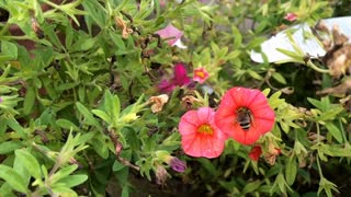 Bee searching through flower slow motion 720p