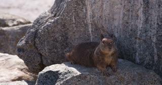 Beechey ground squirrel sitting on rock stands up 4k.