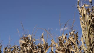 Birds flying around top of corn stalks