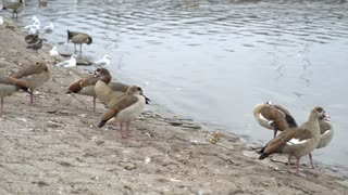 Birds standing along waters edge in city 4k