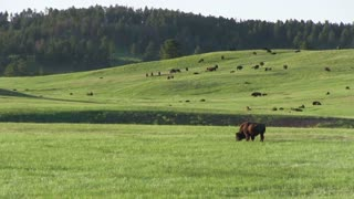 Bison families in large wide open field