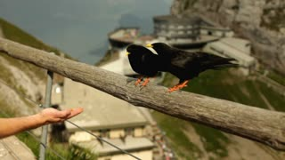 Black birds eating from hand