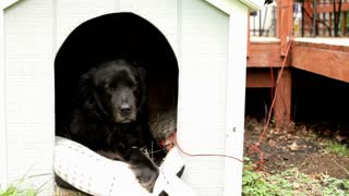 Black Dog in outdoor House