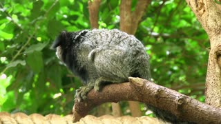 Black-eared Marmoset in tree
