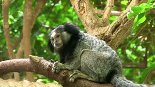 Black-eared Marmoset