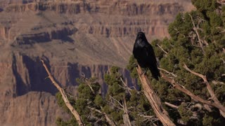Black raven sitting on tree in front of Grand Canyon 4k