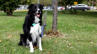 Border Collie waiting by a tree in grass