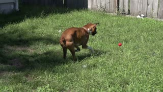 Boxer chasing ball in backyard