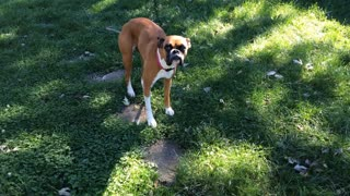 Boxer dog wiggling tail with excitement while being approached