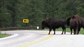 Buffalo crossing over street in mountains
