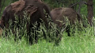Buffalo searching through grass for food