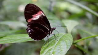 Butterfly on leaf flapping wings