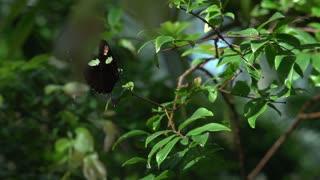 Butterfly opens wing span in slow motion