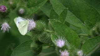 Butterfly, Pieris brassicae, feeding on a flower