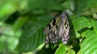 Butterfly with torn wing on leaf