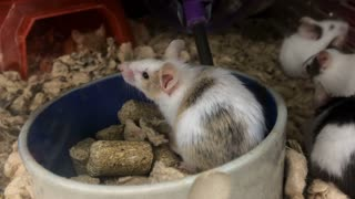 Caged mice eating in food bowl