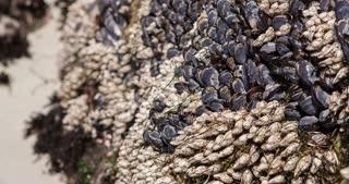 California Mussel shells growing on beach shore 4k
