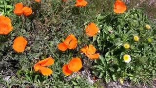 California Poppy Flowers in Wind