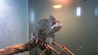 Chameleon In Cage At Store 4 K
