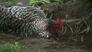 Chicken Rolling around in Dirt