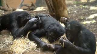Chimpanzee family grooming each other while laying down in straw 4k
