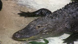 Close up of Alligator Head floating in water