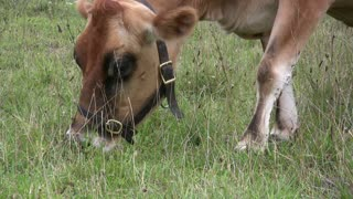 Close up of Cow eating grass
